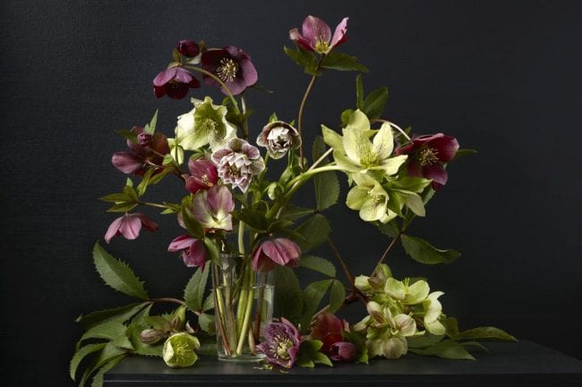 Mixed Hellebores Kevin Dutton The Art Buyer Gallery